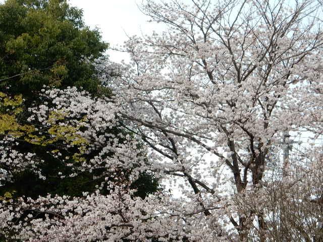 小野崎児童公園の桜