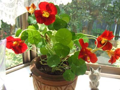 鉢植えのナスタチューム