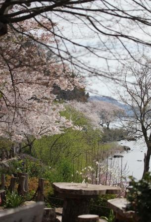 滋賀 桜 シャーレ 水ヶ浜
