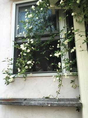モッコウバラ 窓 猫