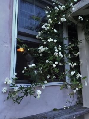 モッコウバラ 猫 窓