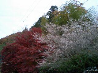 紅葉と四季桜