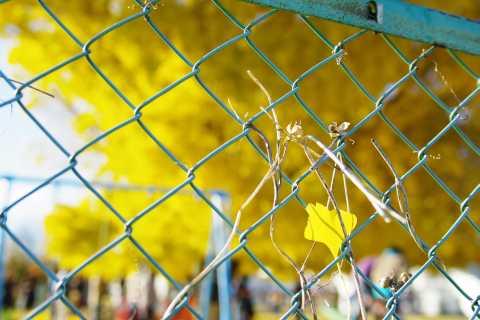 フェンスと銀杏