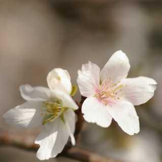 桜はマクロかな