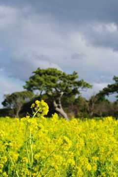 菜の花と松