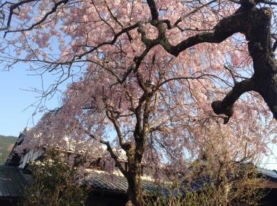 育ちゃんちの桜