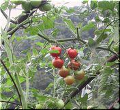 ミニトマトの育成