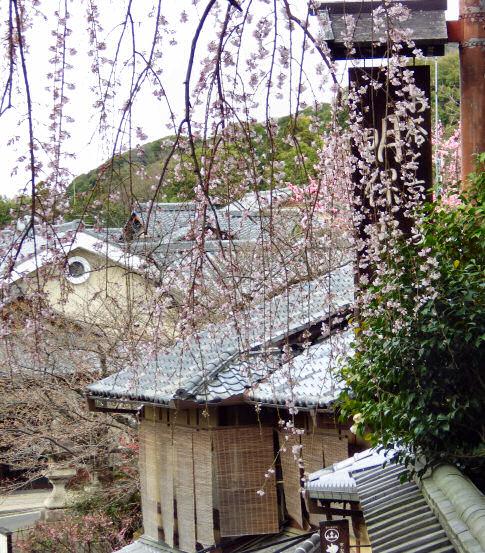 三年坂枝垂桜20130322_02
