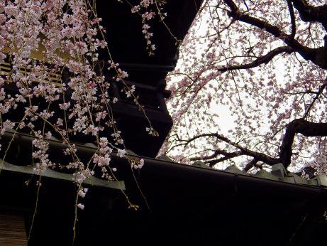 三年坂枝垂桜20130322_03