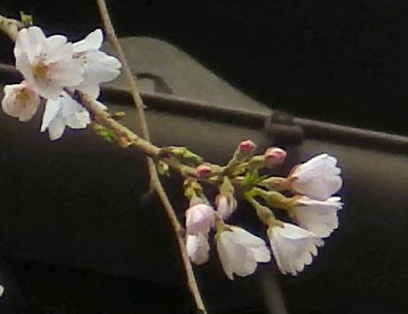三年坂枝垂桜20130322P