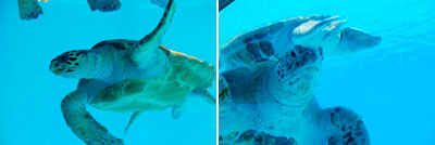 沖縄美ら海水族館 ウミガメ