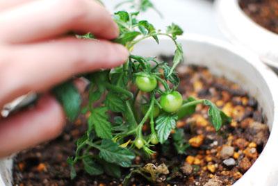ベランダガーデニング ミニトマト