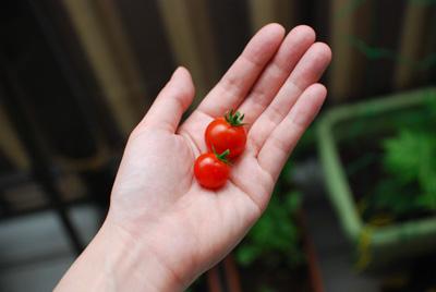 ミニトマト ベランダガーデニング