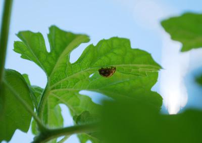 天道虫 テントウムシ てんとう虫