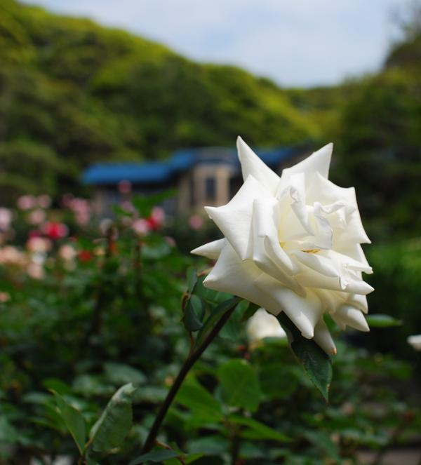 鎌倉 薔薇