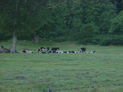 木島平の牛