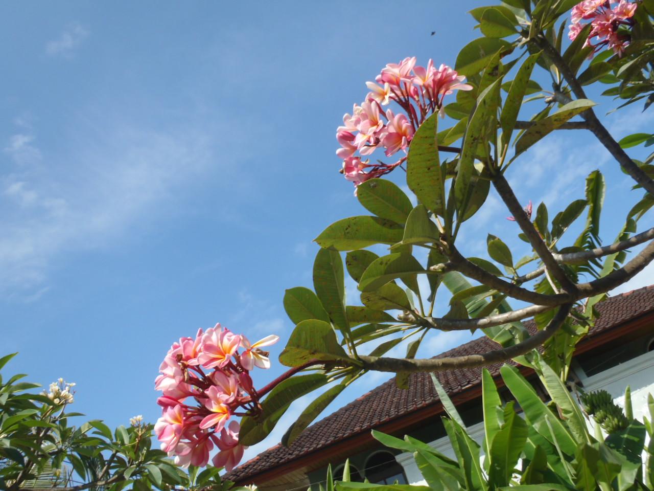 庭に咲くピンクのプルメリア