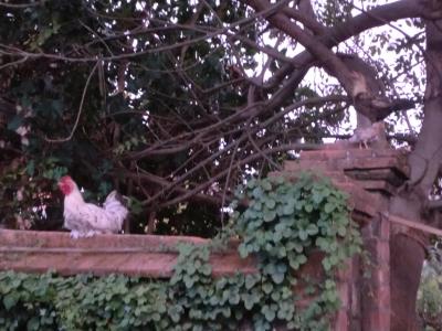 家の近くでニワトリ
