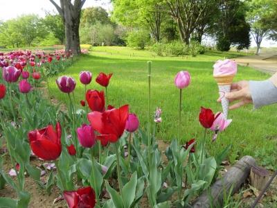 チューリップソフトと花