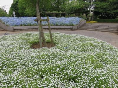 花の丘・ネモフィラ白