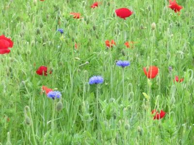 花の丘・ポピー