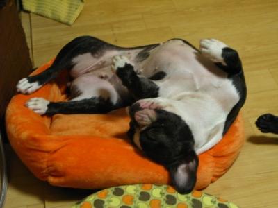 仰向けに寝ているフレンチブルドッグ