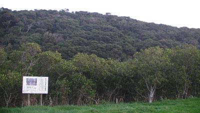 種子島 メヒルギ