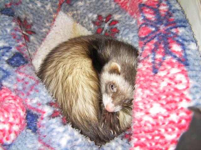 我が家のフェレット ココアさんです。ハンモックを入れている引き出しの中でお休み中です。