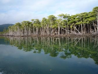 仲間川のマングローブ