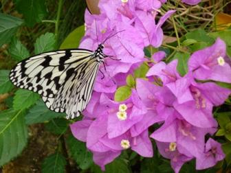 ブーゲンビリアに舞う蝶