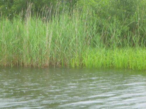 曽原湖のアシ帯