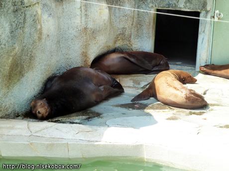 とべ動物園アシカ3