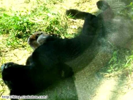 とべ動物園黒豹