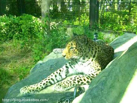 とべ動物園豹