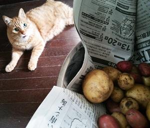 芋堀り 収穫 猫写真