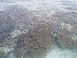 サンゴやね。