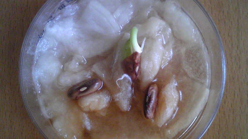 エンドウ豆2