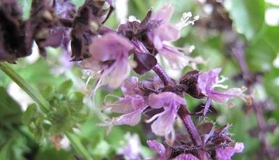 バジルの花(紫)