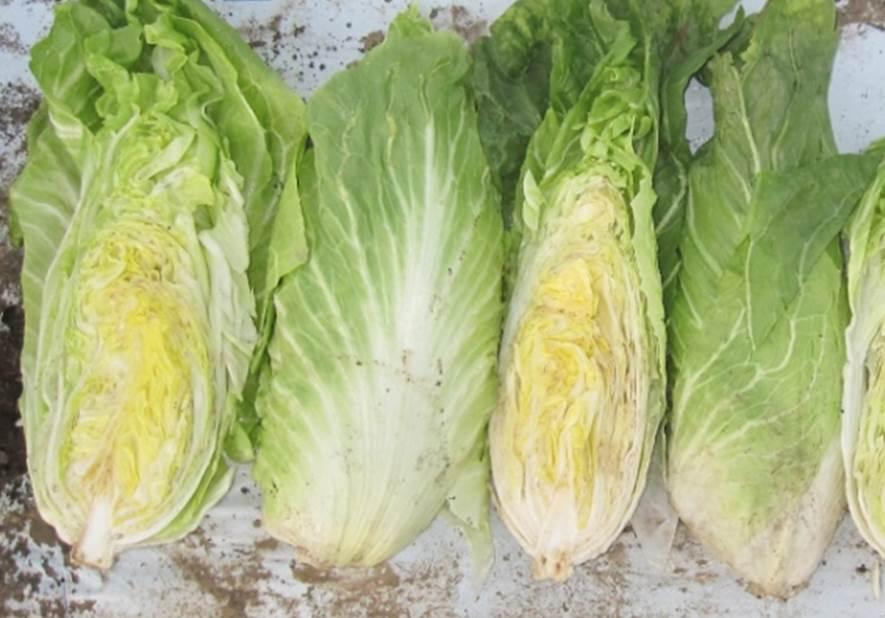 チコリトレビスラディッキオ緑半分