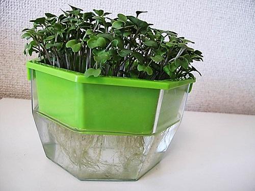 ブロッコリースプラウトをキッチンファームで栽培