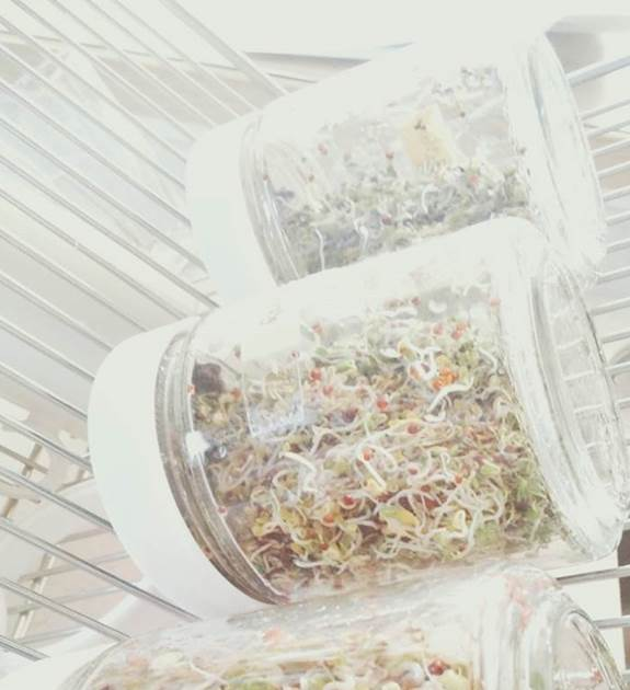 ブロッコリースプラウトのジャー栽培