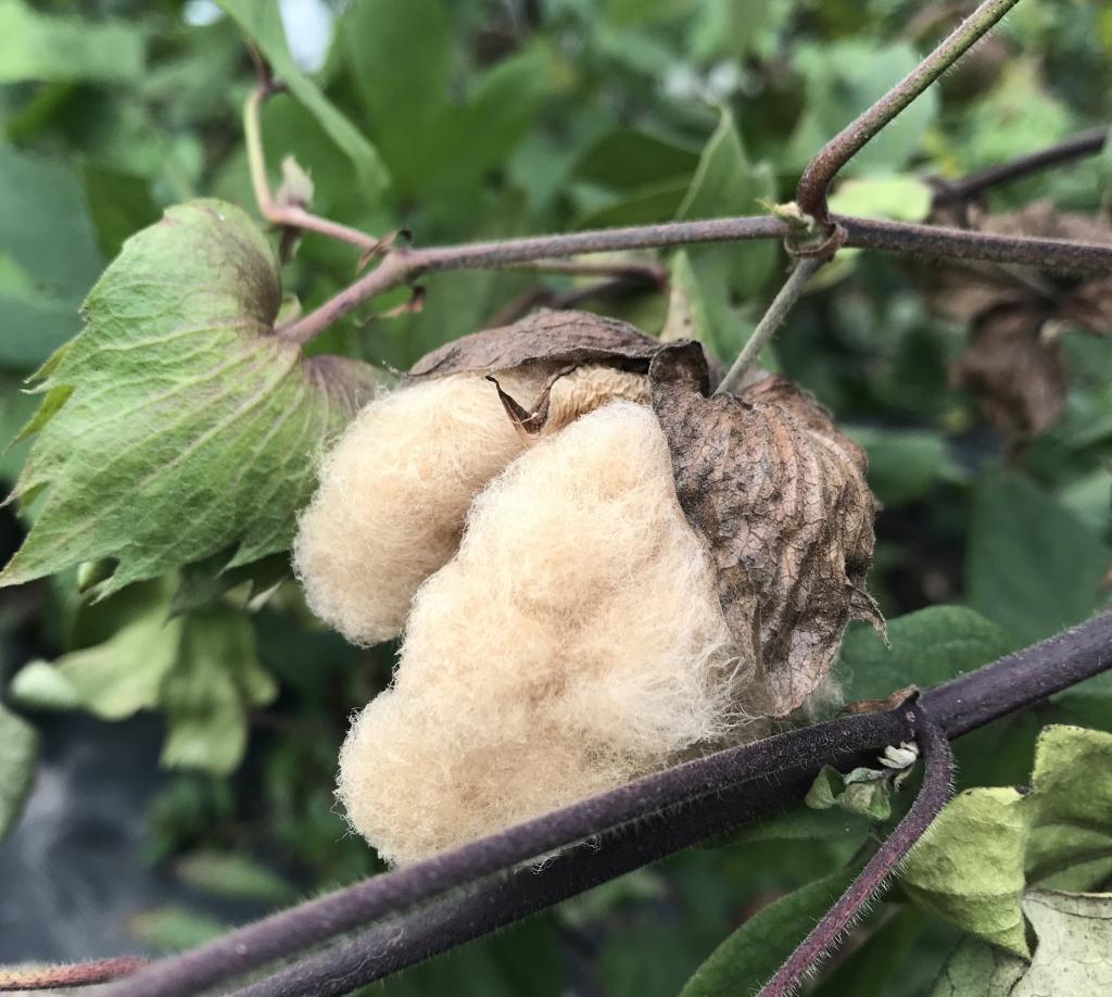 茶綿の種入荷