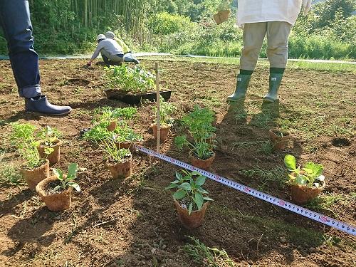 ポタジェでの苗の植え付け
