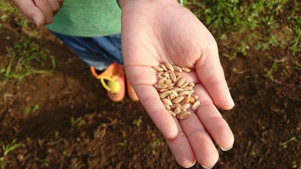 スペルト小麦の種