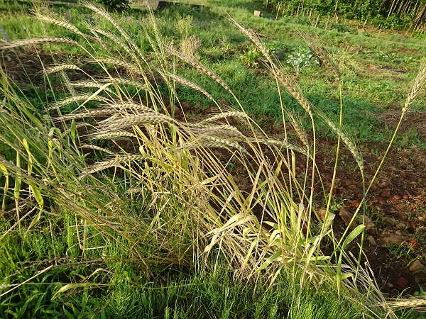 実ってきた6月のスペルト小麦
