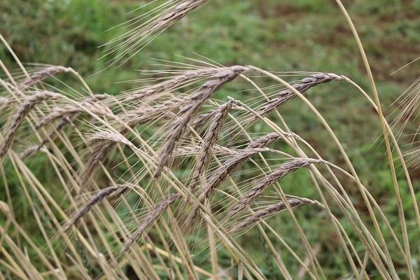 スペルト小麦の栽培