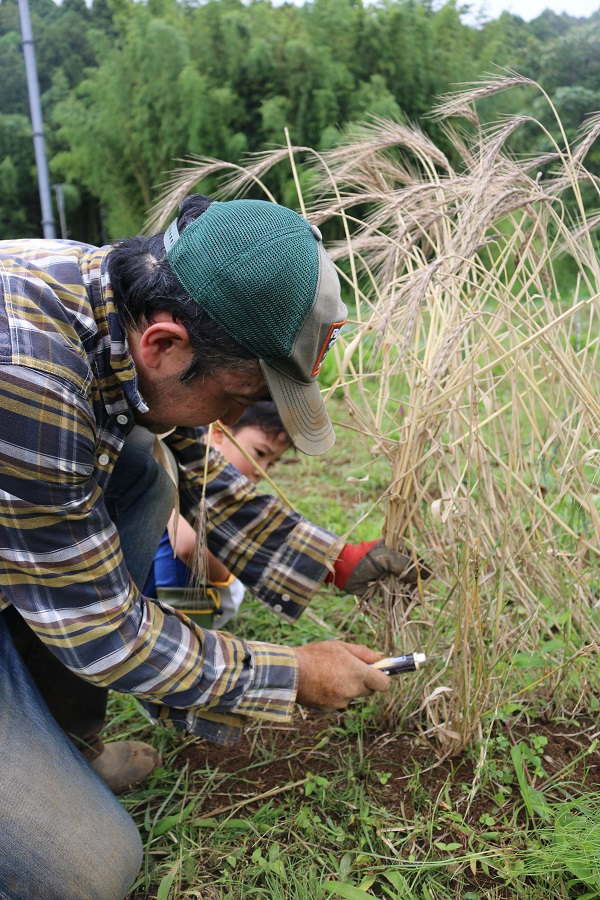 スペルト小麦の刈り取り