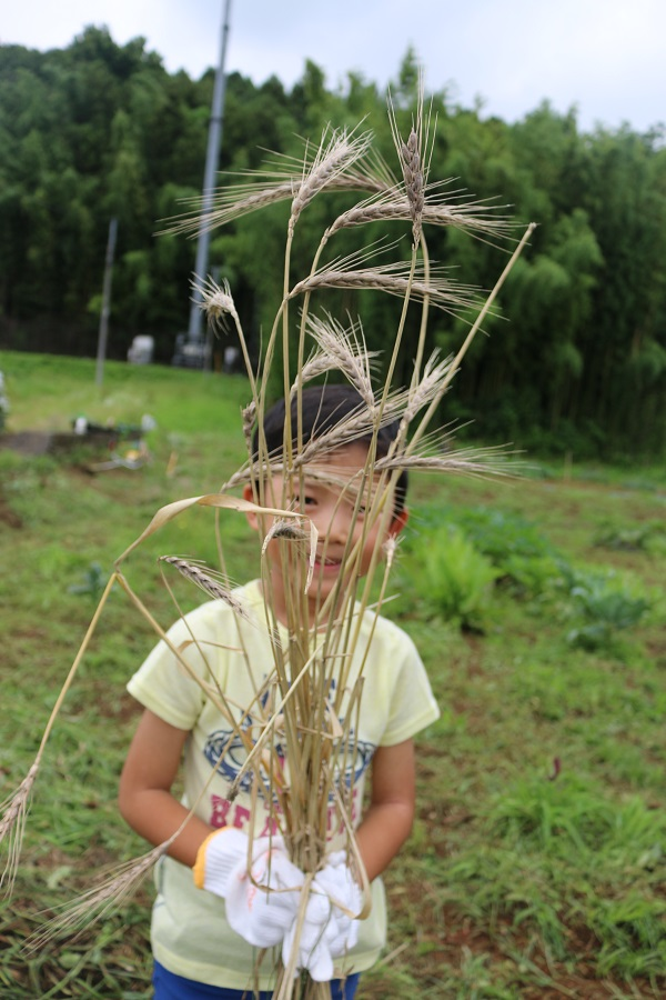 古代小麦を刈り取る