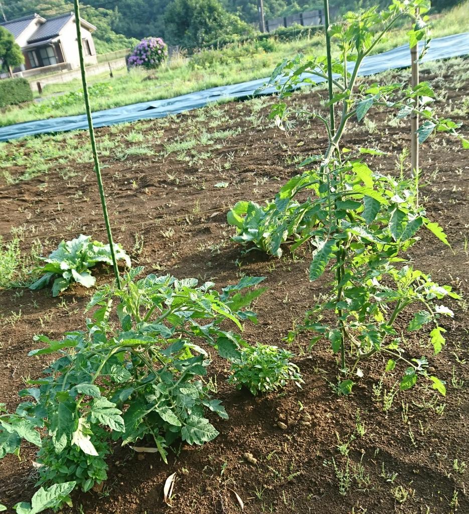 コンパニオンプランツ バジルとトマト