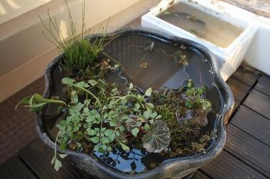睡蓮鉢植え替え4
